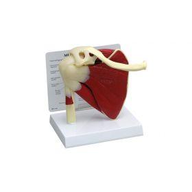 GPI Anatomicals  Muscled Shoulder Model