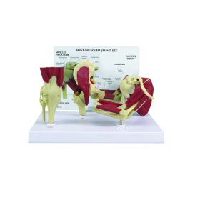 GPI Anatomicals  Mini-Muscled Joint Set